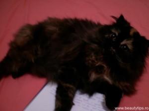 Pisica persana in calduri