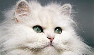 ce-inseamna-cand-pisica-se-mangaie