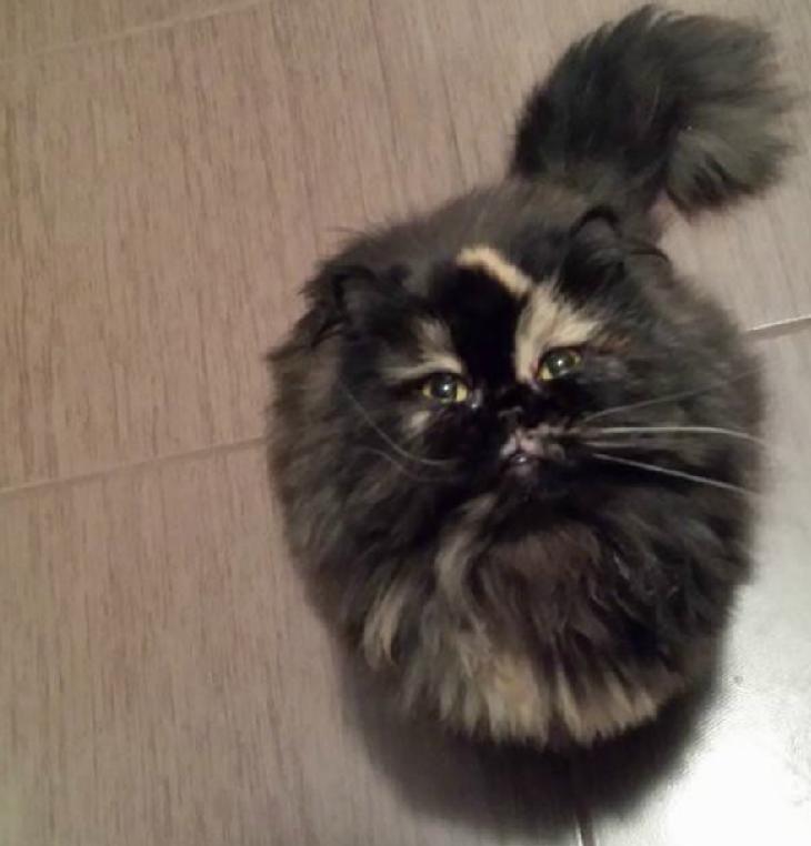 pisica persana neagra